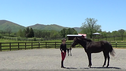 Videos related to work from the ground; includes work-in-hand, lunging, and long-lining.