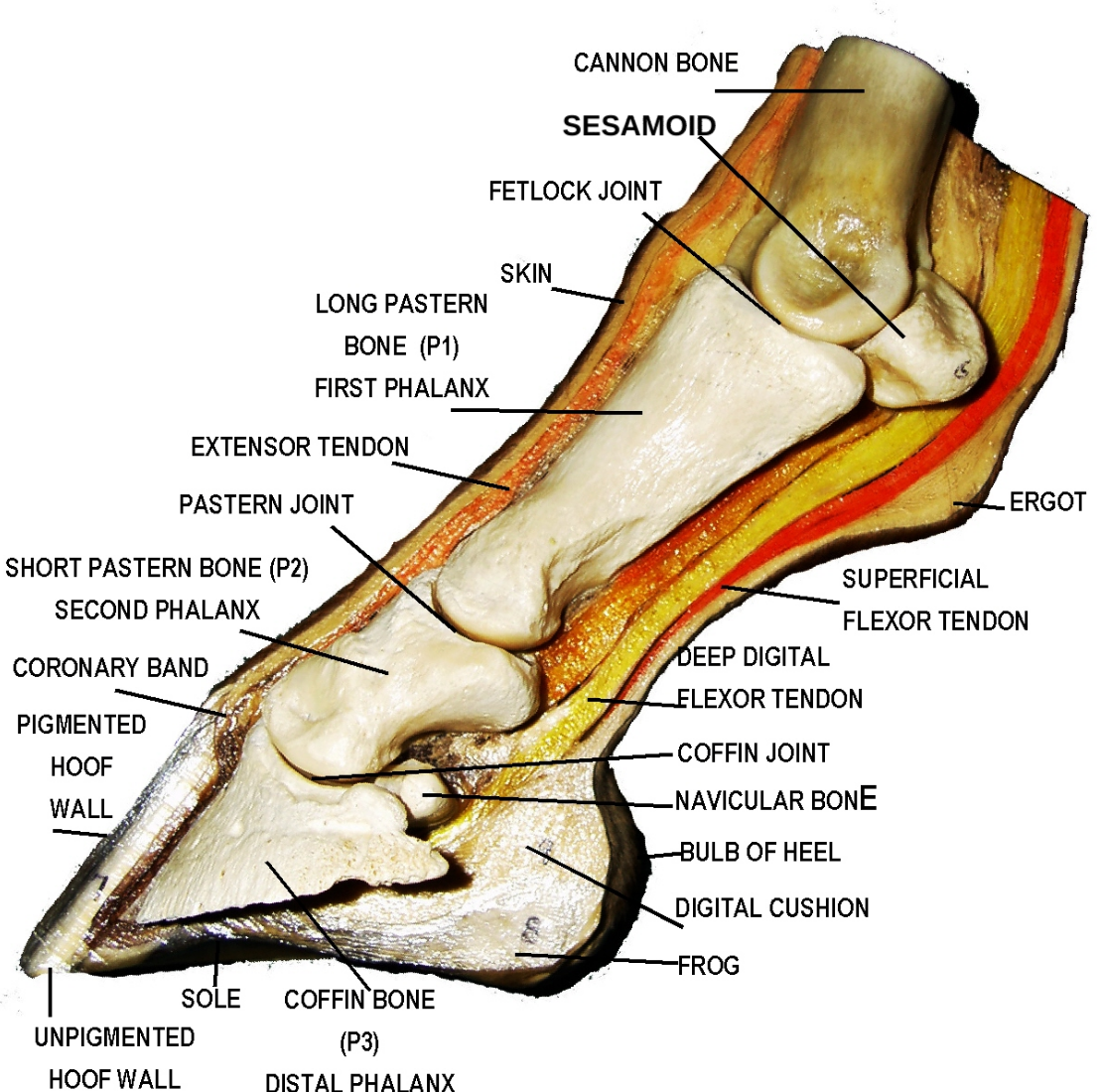 Hoof School: Part I - Bones, Joints, and Tendons | HORSE ENGINEER ...