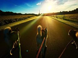 Pups Walking Sunset