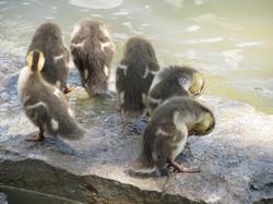 Duckling Bath Time