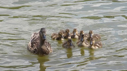 Duck Family Posing for a Pic