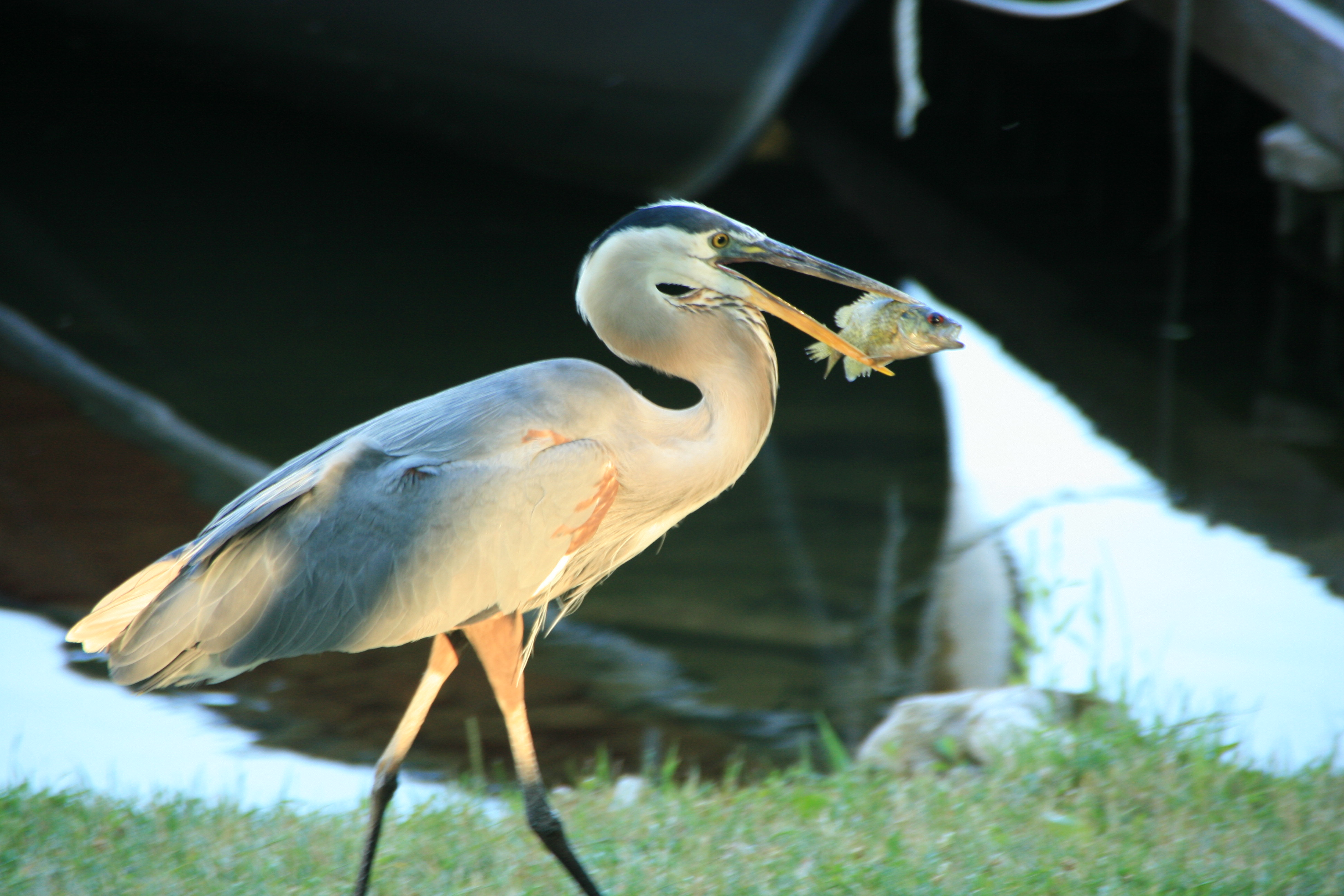 Heron with Lunch