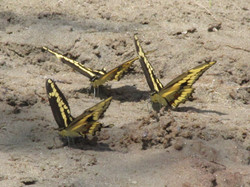 Butterflies at the Beach