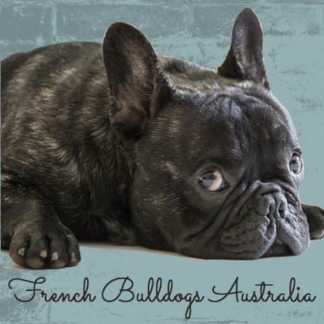The Price Of French Bulldog Puppies In Australia
