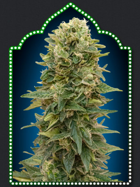 Auto Afghan Mass Feminised Seeds