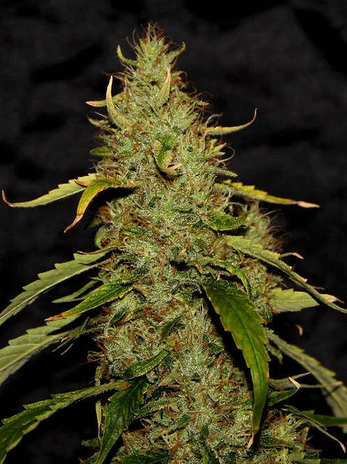 CBD PH Regular Seeds-5