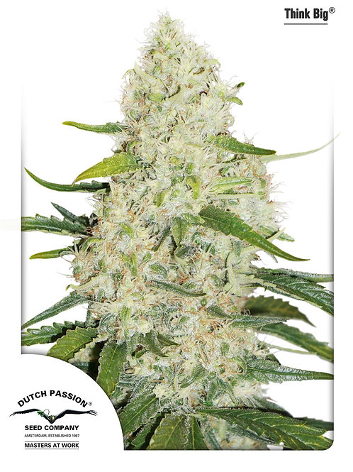 Auto Think Big Feminised Seeds