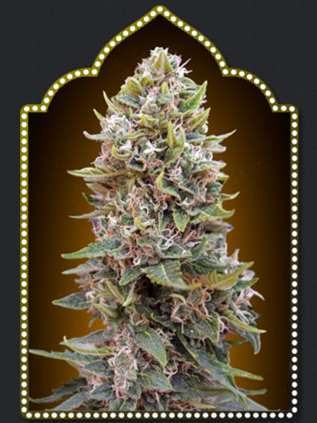 Auto Cheese Berry Feminised Seeds