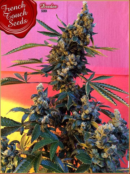 Deedee BX1 Regular Seeds