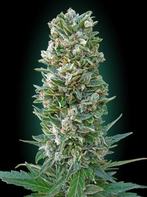 Collection #3 AUTOMATIC Feminised Seeds