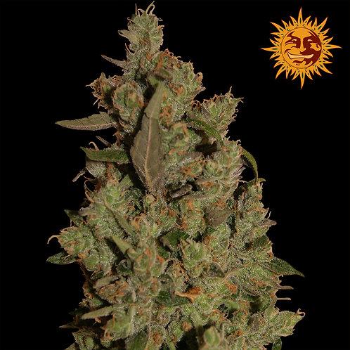 CBD Critical Cure Feminised Seeds