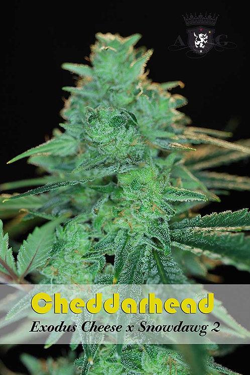 Cheddarhead Regular Seeds