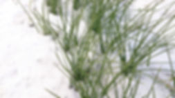Safran unter Januarschnee