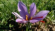 Safranblüte im Sonnenschein