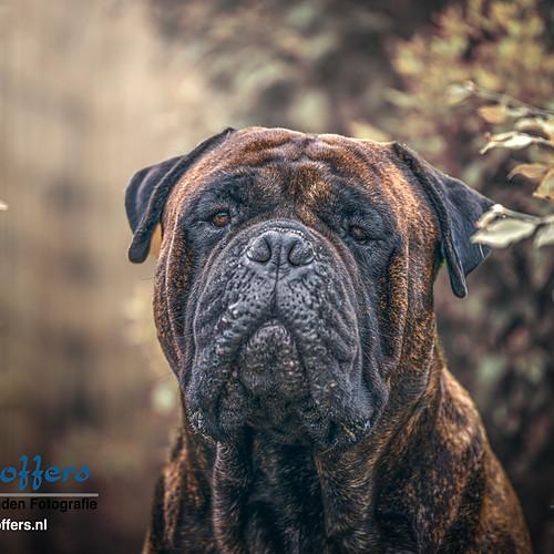 Harrie - the Bullmastiff
