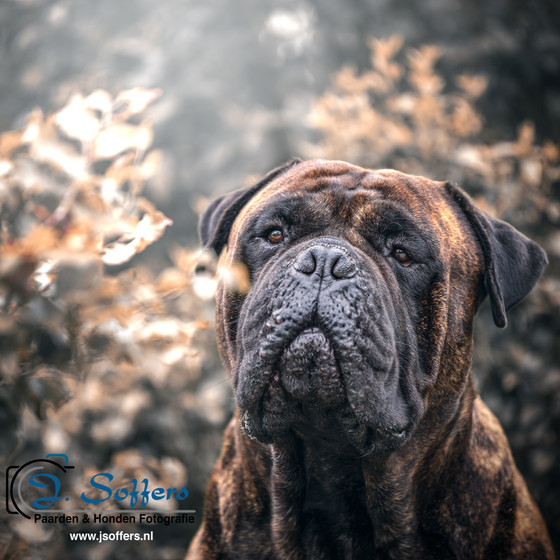 Harrie - the Bullmastiff