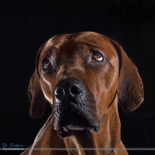 Blackfoto's Honden
