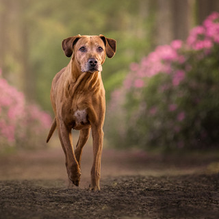 Fotoshoot Hond - Rhodondendrons