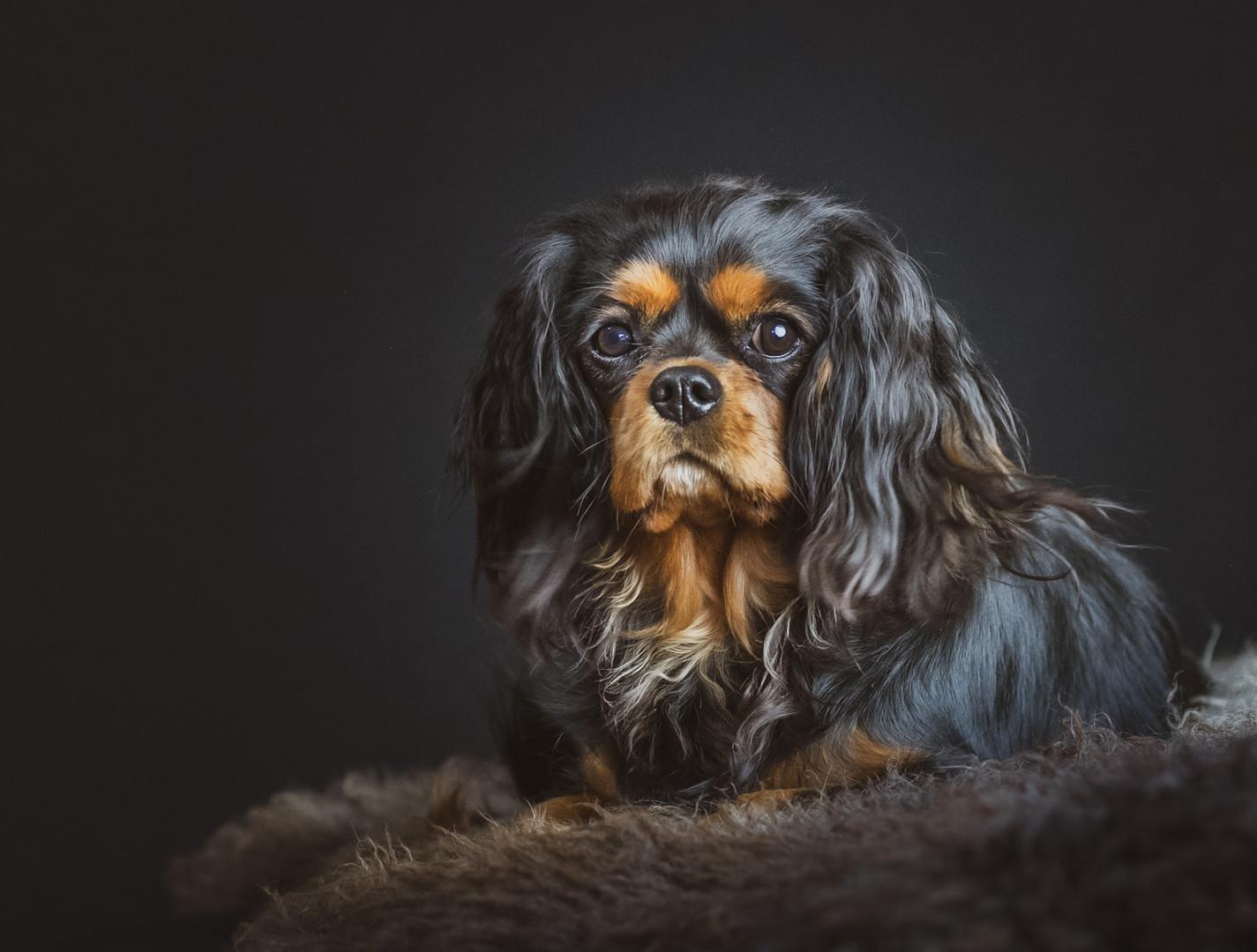 blackfoto honden fotografie