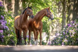dubbel portret paard-.jpg
