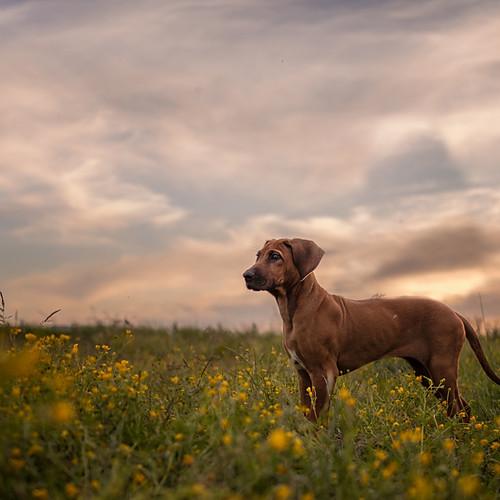Fotoshoot hond - Bwana
