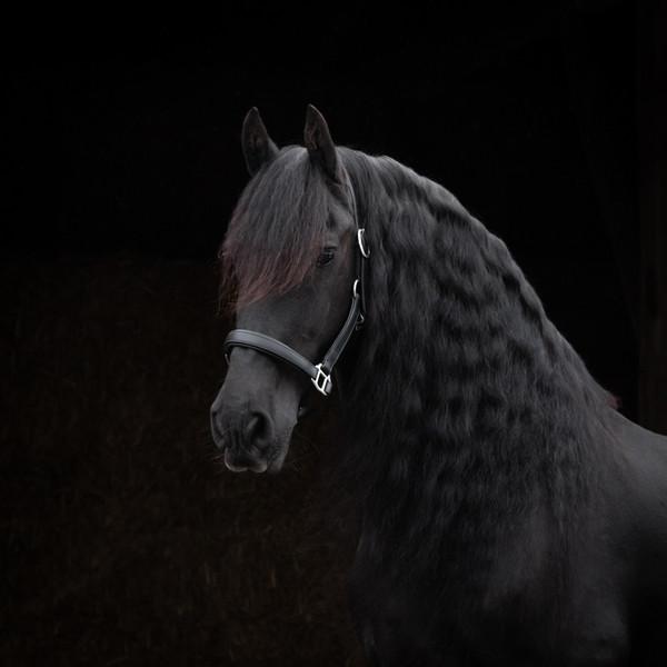 blackfoto paard fotoshoot