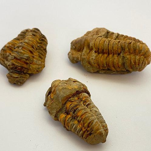 """Calymene Trilobite Fossil 1 1/2"""" - 2"""""""