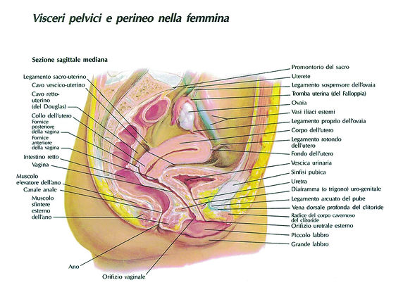 visceri pelvici e perineo nella femmina