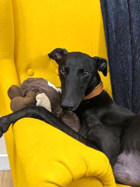 greyhound collars Kera pets.jpg