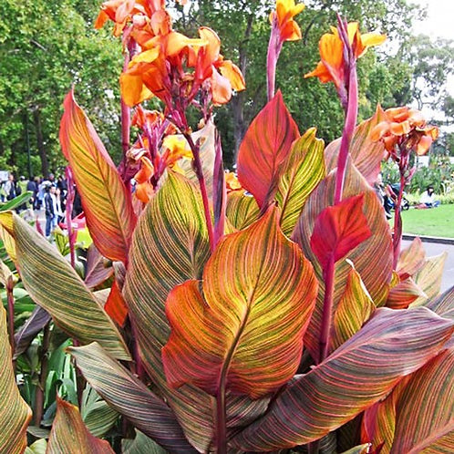 Red Variegated Canna Lily