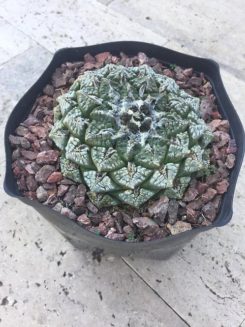 Ariocarpus Fissuratus 1gallon
