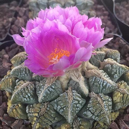 Ariocarpus Fissuratus (Living Rock Cactus)
