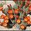 Thumbnail: Echinocereus Cacti (Hedgehog)