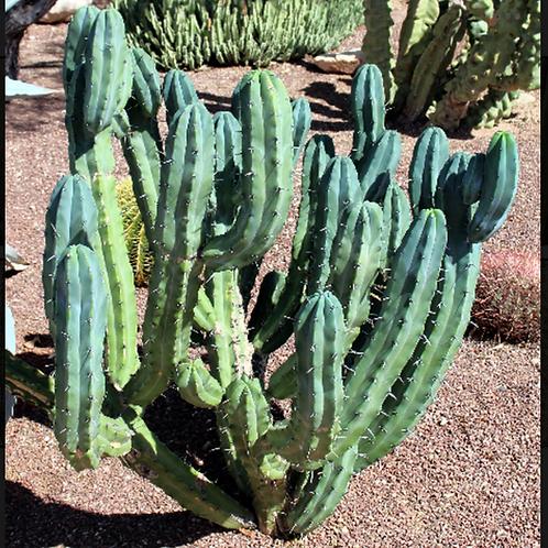 Myrtillo (myrtillocactus geometricians)