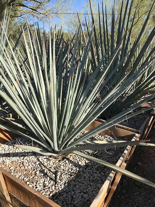 Yucca Baccata (Bannana Yucca)