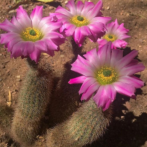 Echinocereus Cacti (Hedgehog)