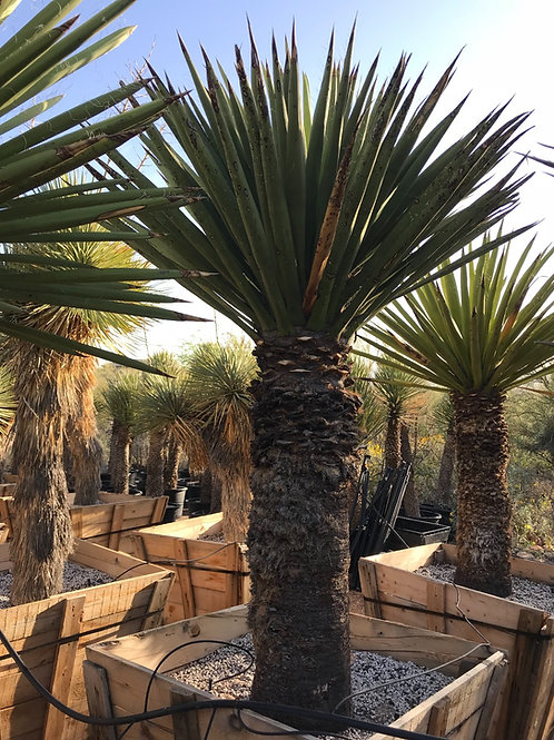 Yucca Faxoniana (Giant White)