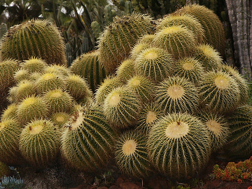 Golden Barrel Cluster (echinocactus grusonii)