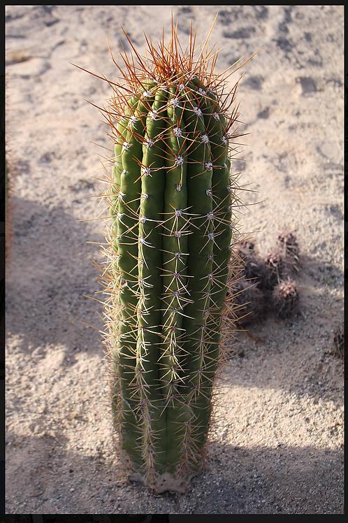 Cardon Grande (trichocereus terscheckii)