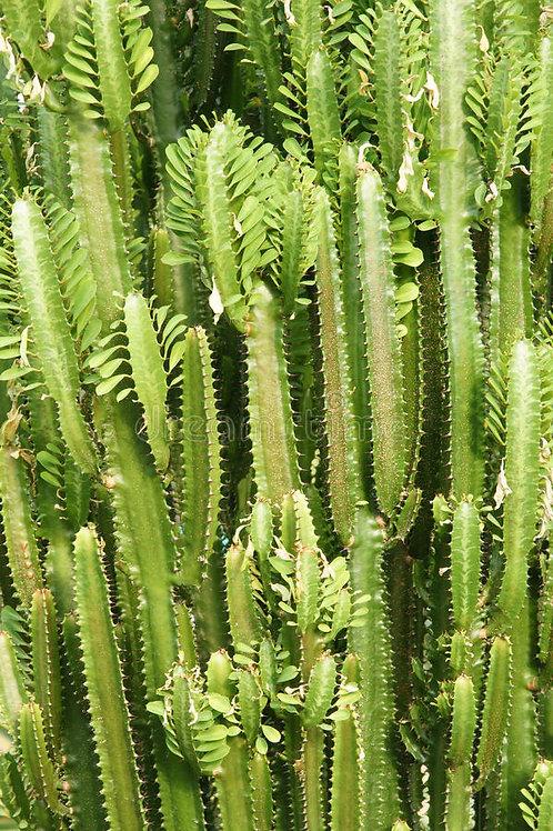 Royle's Spurge (euphorbia royleana)