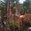Thumbnail: Blue Elf Aloe (aloe hybrid)