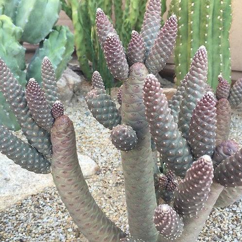 Pinecone Cactus (tephrocactus diadematus)
