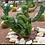 Thumbnail: Crested Myrtillo (myrtillocactus geometrizan forma cristataCRISTATA)
