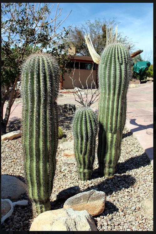 Saguaro (carnegiea gigantea)