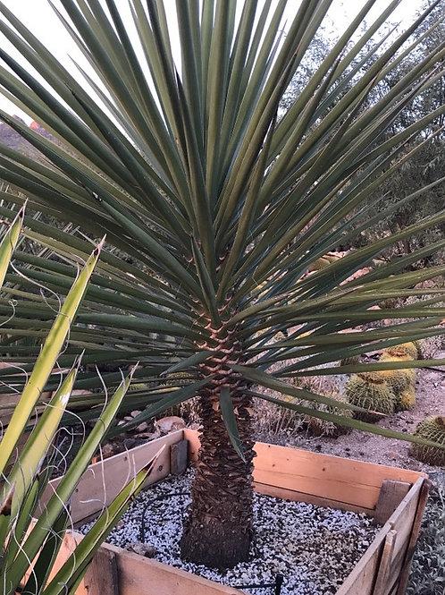 Sahuiliqui Yucca (yucca grandiflora)
