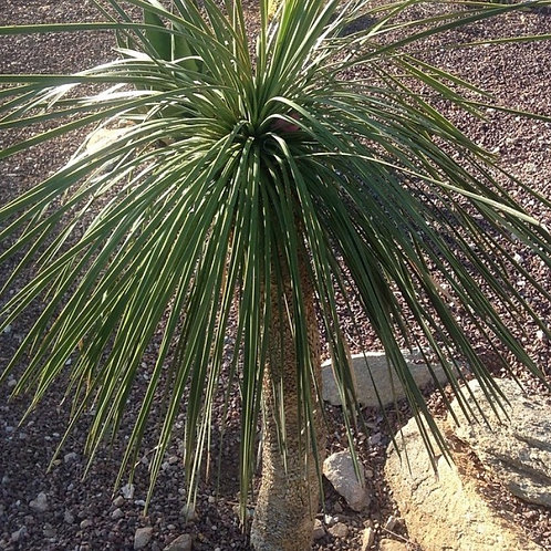 Yucca Linearfolia