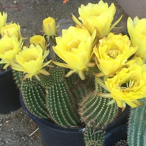 Trichocereus Hybrid Yellow