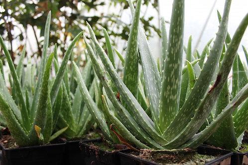 Aloe Vera (aloe barbadensis)
