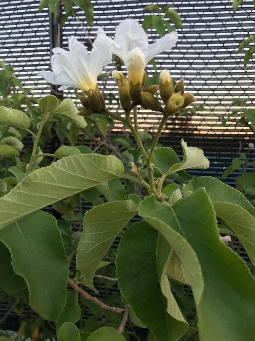 Texas Olive Tree
