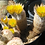 Thumbnail: Rainbow Cactus (echinocereus pectinatus)